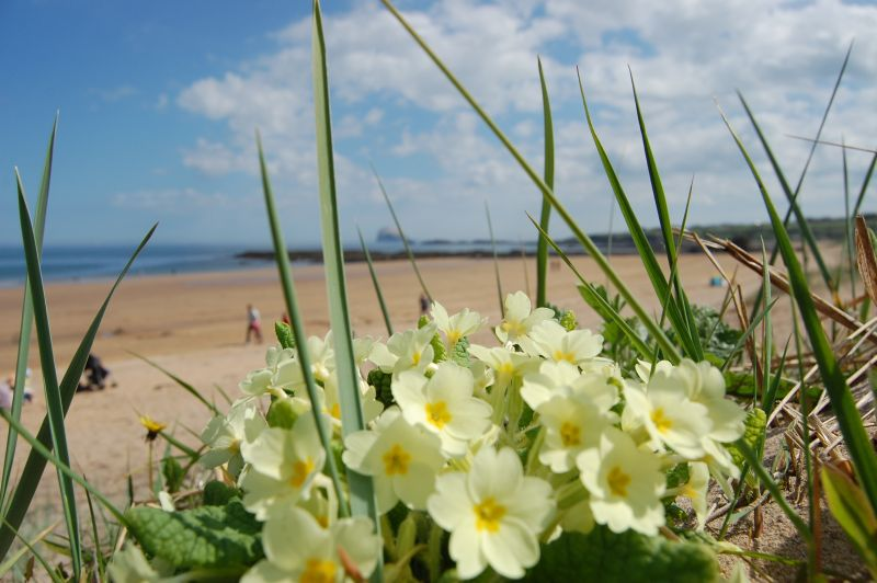primroses by the beach at North Berwick